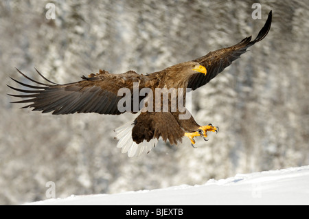 White-Tailed Eagle (Haliaeetus albicilla), adult in landing approach. - Stock Photo