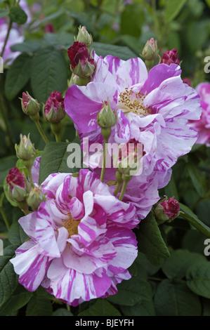 Rose - Versicolor (Rosa Mundi) Gallica (circa 1600) - Stock Photo
