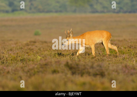 European Roe Deer (Capreolus capreolus), buck searching for doe in rut, Netherlands. - Stock Photo