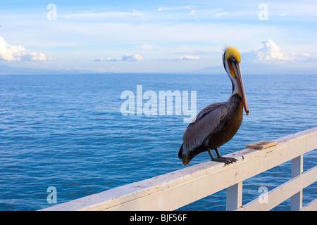 A pelican on the pier at Santa Cruz California - Stock Photo