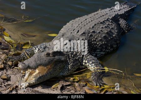 CUBAN CROCODILE (Crocodylus rhombifer) basking, Zapata swamp, Cuba. Critically endangered species. Captive. - Stock Photo