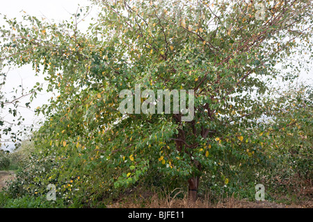Jujube  'Ziziphus jujuba' tree bearing fruit. - Stock Photo