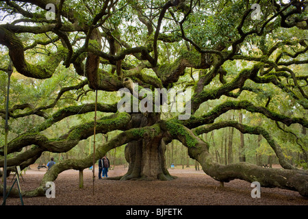 The Angel Oak, quercus virginiana, largest southern live oak in the world, near Charleston, South Carolina, USA.