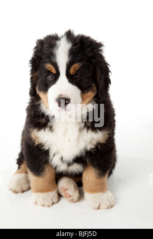 7 weeks old Bernese Mountain Dog puppy - Stock Photo