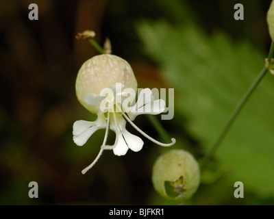 Bladder Campion, silene vulgaris - Stock Photo