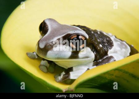 Amazonian Milk Frog, Phrynohyas resinifictrix, South America - Stock Photo