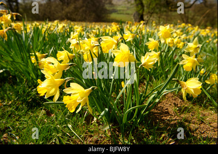 Wild Daffodil flowers, ( Narcissus pseudonarcissus ) or Lent Lilly plants flowering in Farndale, North Yorks Moors, - Stock Photo