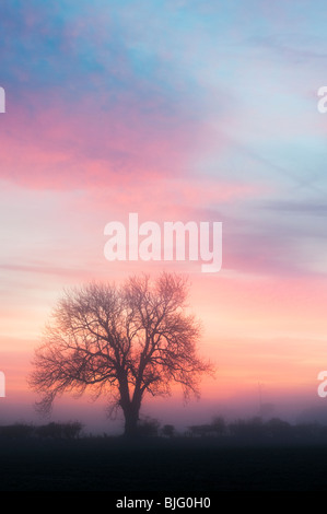 Oak tree silhouette at dawn on a hazy misty morning in the English countryside - Stock Photo