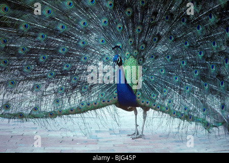 Male Indian peafowl (Pavo cristatus) displaying his tail during courtship - Stock Photo