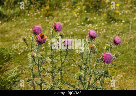 Dark Green Fritillary butterfly, Argynnis aglaia, feeding on Thistles, Wales, U.K. - Stock Photo