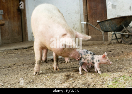 Pigs in front of stall in the open air - - Stock Photo