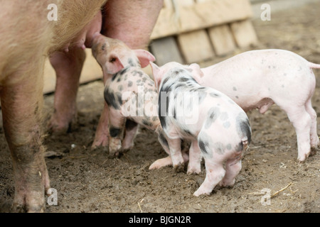Pig with piglets in front of stall in the open air - - Stock Photo