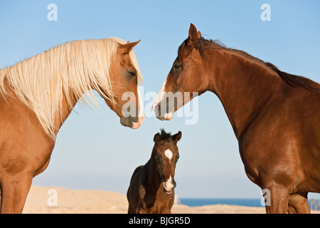 Barb horse stallion mare foal - Stock Photo