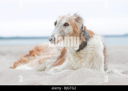 Barzoi. Adult dog lying in sand - Stock Photo