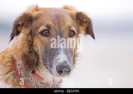 Barzoi dog portrait - Stock Photo