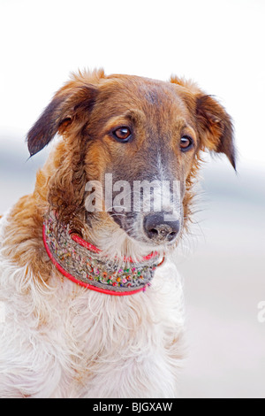 Barzoi dog standing portrait - Stock Photo