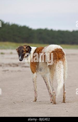 Barzoi dog standing - Stock Photo
