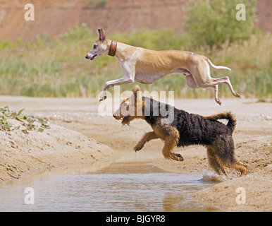 Airedale Terrier Whippet dog jumping over water - Stock Photo