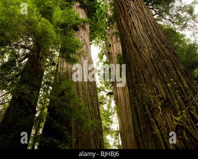 giant redwoods - Stock Photo