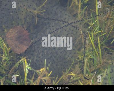 Common Frog (Rana temporaria) and Common Toad (Bufo bufo) spawn - Stock Photo