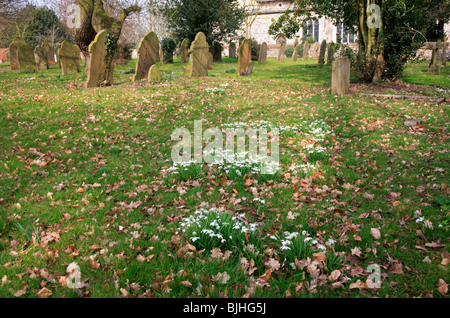 Snowdrops and headstones in a Norfolk country churchyard. - Stock Photo