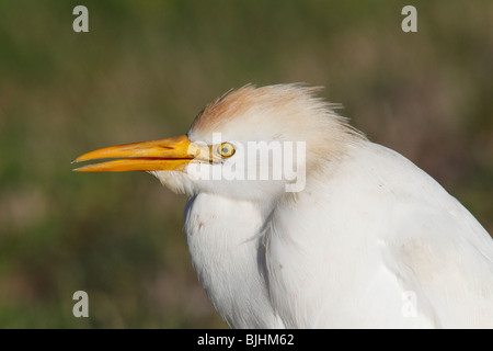 Cattle Egret (Bubulcus ibis) Portrait - Stock Photo