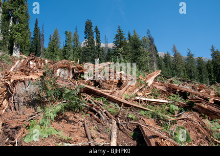 Clear cut forest. - Stock Photo