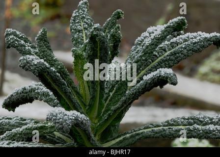 Brassica oleracea var. acephala, Kale, Nero di Toscana, in frost.