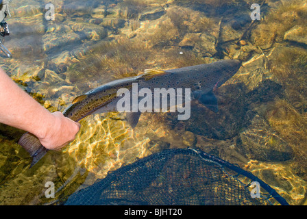 Releasing a wild Atlantic salmon, Salmo salar, caught by a guided fly fisherman ,Miramichi River, New Brunswick, - Stock Photo