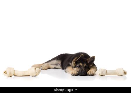 German shepherd puppy lying down - Stock Photo