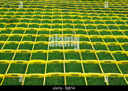 Seedlings in planters in a hothouse of a nursery - Stock Photo