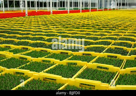 Seedlings in planters in a hothouse of a nursery, Seeland region, Switzerland - Stock Photo