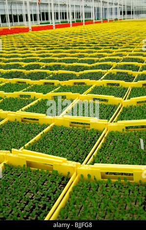 Seedlings in planters in a hothouse of a nursery, Seeland region, Switzerland - Stock Photo