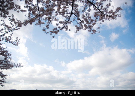 Pink cherry blossoms against a blue cloudy sky - Stock Photo