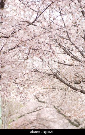 Full frame of pink cherry blossoms