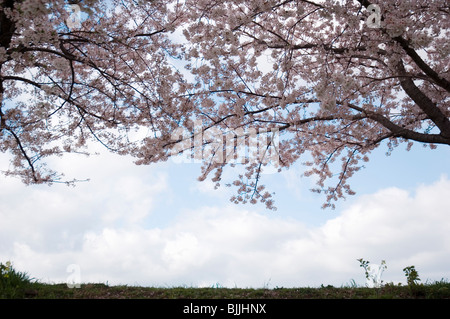 Pink cherry blossom trees over a field with a blue cloudy sky in the background Stock Photo