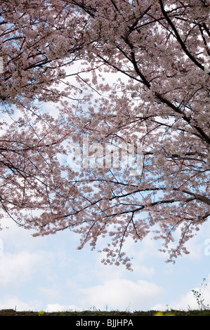 Pink cherry blossom trees over a field with a blue cloudy sky in the background - Stock Photo