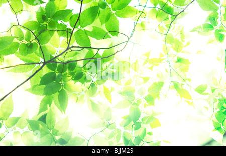 Sunlight shining through green branches - Stock Photo
