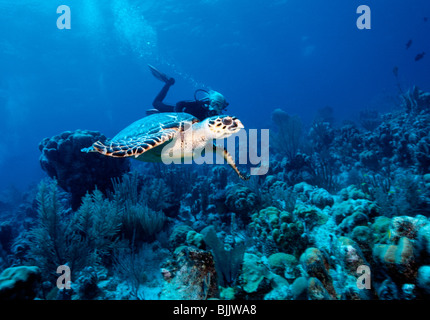 Turks & Caicos, Providenciales, woman diver with hawksbill turtle at Cathedral divesite - Stock Photo