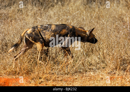 Female African Wild Dog (Lycaon pictus) on the prowl, Madikwe Game Reserve, South Africa, Africa - Stock Photo