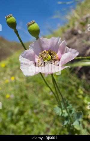 Wild opium poppy growing on Gran Canaria - Stock Photo