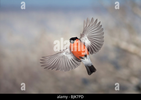 Common Bullfinch or Eurasian Bullfinch (Pyrrhula pyrrhula), male in flight during the winter - Stock Photo