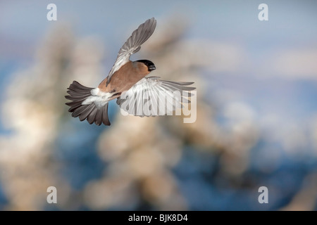 Common Bullfinch or Eurasian Bullfinch (Pyrrhula pyrrhula), female in flight during the winter - Stock Photo