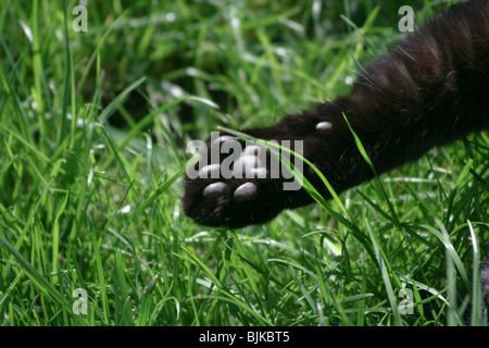 Domestic cat's paw in detail - Stock Photo
