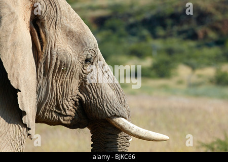 African Forest Elephant (Loxodonta cyclotis), Damaraland, Namibia, Africa - Stock Photo