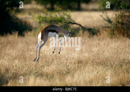 Springbok (Antidorcas marsupialis), Etosha National Park, Namibia, Africa - Stock Photo