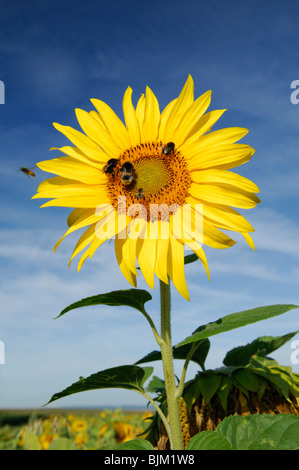 Sunflower on a blue sky with bees, Lorraine region, France - Stock Photo