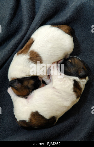 Two young babies Shih tzu dogs one week old sleeping together. Top a male and down a female. - Stock Photo