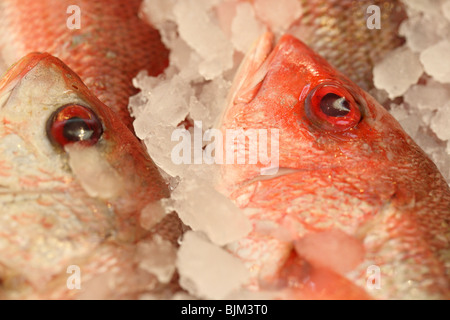 Red Snapper - Stock Photo
