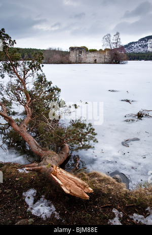 A large Scots Pine tree branch torn off by the weight of snow in early 2010. Loch an Eilleen, Cairngorms, Scotland - Stock Photo